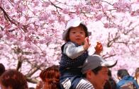 ถึงเดือนเมษา เที่ยวชม ซากุระ ให้สุขใจ